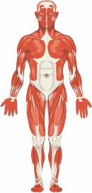 human body muscular structure, remedial massage